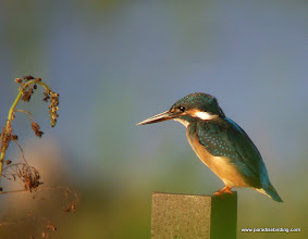 Photo: Common Kingfisher, Kota Belud wetlands