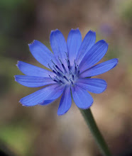 Photo: Cichorium intybus
