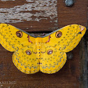 Golden Emperor Moth