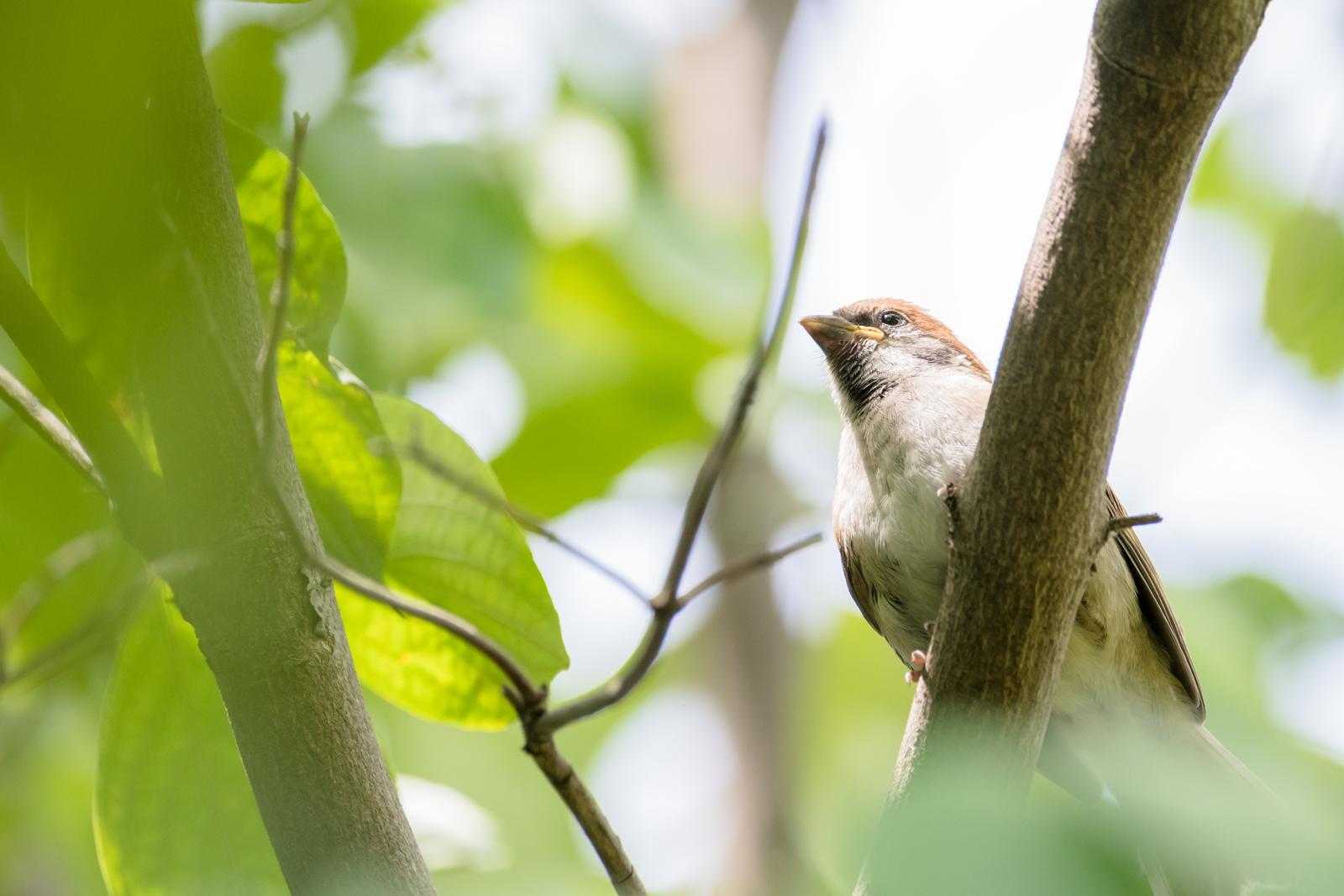 Photo: 「楽しみ」 / Pleasure.  わくわく 少しずつ少しずつ 好奇心が満たされていく きらきら輝く 知りたがりの瞳  Sparrow. (スズメ)  Nikon D500 SIGMA 150-600mm F5-6.3 DG OS HSM Contemporary  #birdphotography #birds #kawaii #ことり #小鳥 #nikon #sigma  ( http://takafumiooshio.com/archives/2724 )