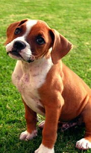 boxer puppy wallpapers screenshot 0
