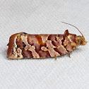 Jack Pine Tube Moth