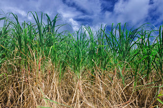 Photo: Sugar Sugar  This is another shot from #barbados of sugarcane fields. It's a very simple photo, but I like the colors :)