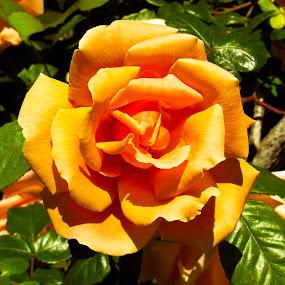 Beautfiul rose on a trellis. by Nancy Gray - Flowers Single Flower