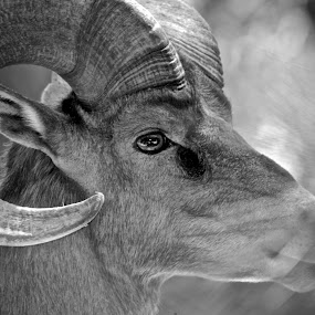 Ram Tough by Moe Cook - Black & White Animals ( horns, black and white, ram, texture, buck, ears, horn )