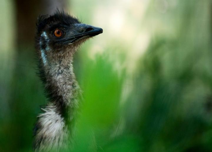Emu di danger