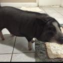 Domestic pig, Vietnamese potbelly pig