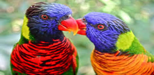 Kicau Burung Nuri On Windows Pc Download Free 1 0 Com Nurininuri Myapp