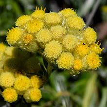 Photo: Helichrysum sp.