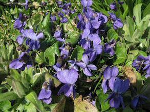 Photo: Sweet violet April 6th 2015 (in garden) © Gill Smith 2015
