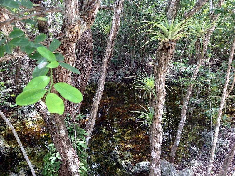 Photo: Smoke Wood - Erythroxylum confusum, ERYTHROXYLACEAE, Critically Endangered, ALTERNATE leaves. shrub or small tree Range: Grand Cayman, Bahamas, Cuba and Jamaica. Resurrection Fern - Polypodium polypodioides, POLYPODIACEAE, Near Threatened, and Giant Air Plant, Wild Pine - Tillandsia utriculata, BROMELIACEAE. Ann Stafford, Grand Cayman, Sept.14, 2013
