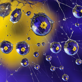 Primerose reflections by Alberto Ghizzi Panizza - Abstract Water Drops & Splashes ( water, reflection, blue, dew, spiderweb, drops, web, yellow, primerose, flower,  )