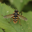 Yellow-barred Peat Hoverfly