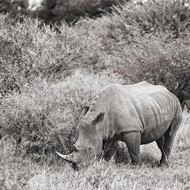 by Leanne Vorster - Black & White Animals ( rhino, outdoors, field, nature, white rhino )