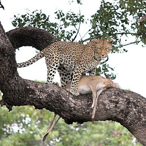 Leopard kill close to Shitlhave dam by Sheila Grobbelaar - Animals Lions, Tigers & Big Cats ( cats, catlover, krugerthroughmyeyes, wu_africa, natgeowild, bigcats, wildlife, big5, catsofinstagram, leopardidproject, leopard,  )