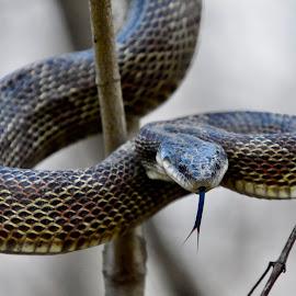 Rat Snake by Jeff Sluder - Animals Reptiles ( black snake, snake, black rat snake )