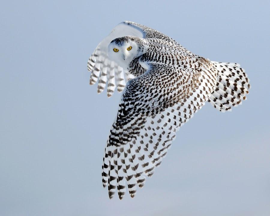 Snowy Owl In-Flight by Rob McKay - Animals Birds ( flight, birds of prey, flying, winter, inflight, avian, white, snowy owl, birds, owls, raptors )
