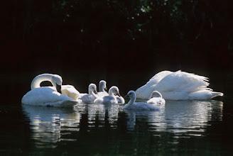 Photo: Trumpeter swans (Cygnus buccinator) and cygnets.