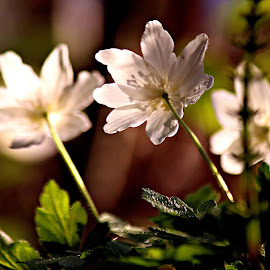 by Inger Lefstad - Flowers Flowers in the Wild
