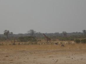 Photo: Giraffe in Hwange