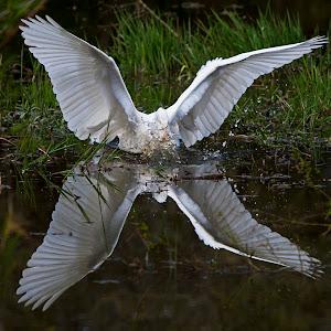 Angelic egret origional 2.jpg
