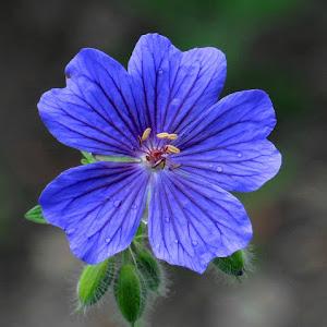 plavi cvijetak..koc..n.jpg