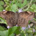 Sickle-winged Skipper (female)