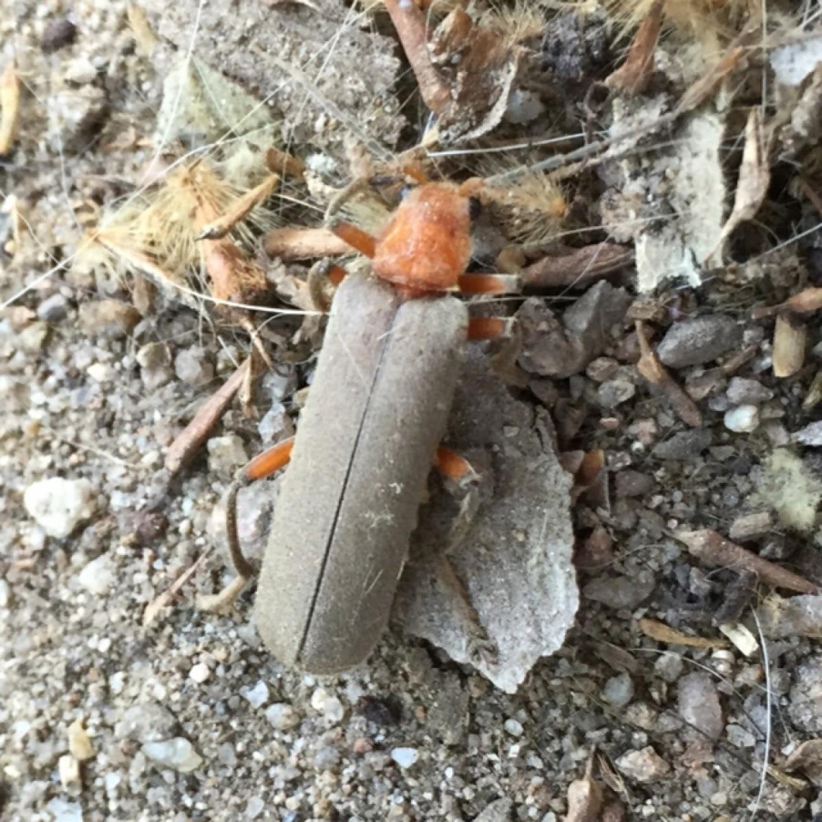 boring beetle