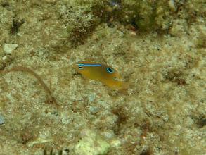Photo: Stegastes nigricans (Juvenile Dusky Farmerfish Damselfish), Siquijor Island, Philippines