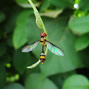 Wasp mimicking fly