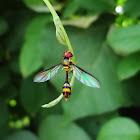 Wasp mimicking fly
