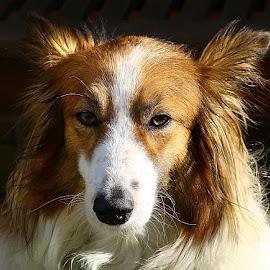Ruby by Chrissie Barrow - Animals - Dogs Portraits ( fur.long hair, sheltie cross, pet, white, ears, dog, nose, tan, portrait, eyes )