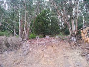 Photo: Thinning has allowed this bay and oak a chance to grow. The soil is alive under the bay and oak. The native microbes are dead unfer the eucalyptus. Eradicating the eucalyptus will allow this to be a thriving woodland ecosystem.