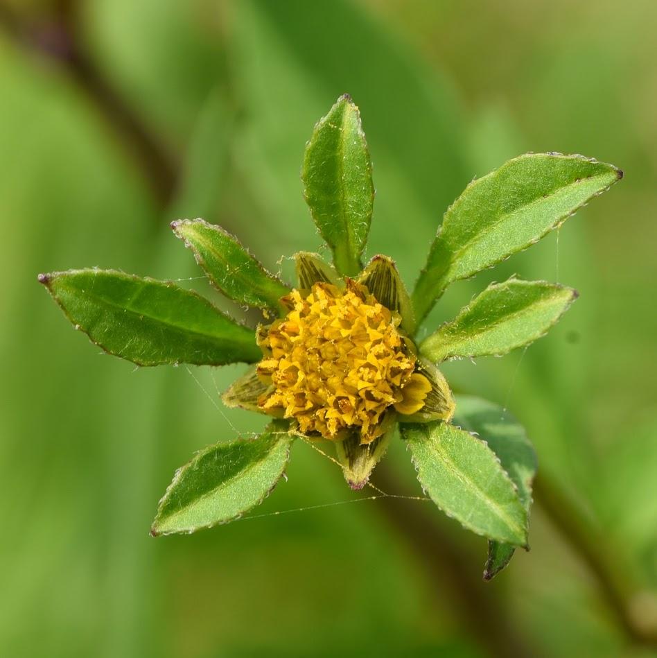 bloemhoofdje en omwindselbladen
