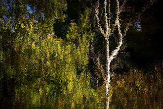 Photo: Reflections of a birch tree  #365project curated by +Simon Davis-Oakley+Patricia dos Santos Patonand +Vesna Krnjic  #treetuesday curated by +Christina Lawrieand +Shannon S. Myers