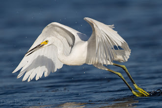 Photo: Snowy Egret - The Drag