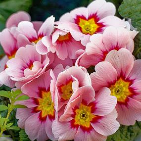Pink primerose by Radu Eftimie - Flowers Flowers in the Wild ( pink, primeroses )