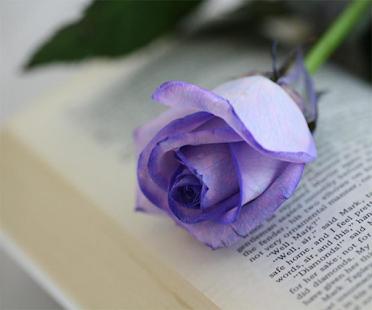 Purple Rose Live Wallpaper