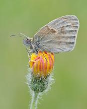 Photo: Fadet commun ou Procris, Small Heath, Coenonympha pamphilus  https://www.facebook.com/macro.photography.butterfly