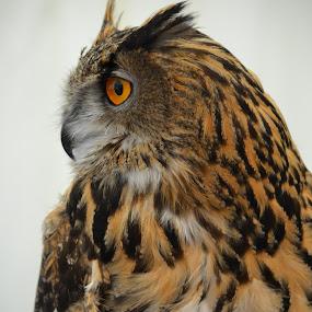 My Profile by Carla Maloco - Animals Birds ( bird of prey, owl, raptor, eagle owl )