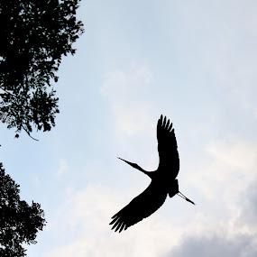 Silhouette of a Stork In Flight by Kai Jian - Animals Birds ( bird, stork, silhouette, in flight )