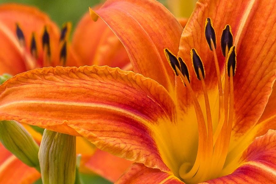 Day lilies by Michael Velardo - Flowers Flower Gardens ( anthers, flowers, orange lilies, day lilies, stamens, lilies )