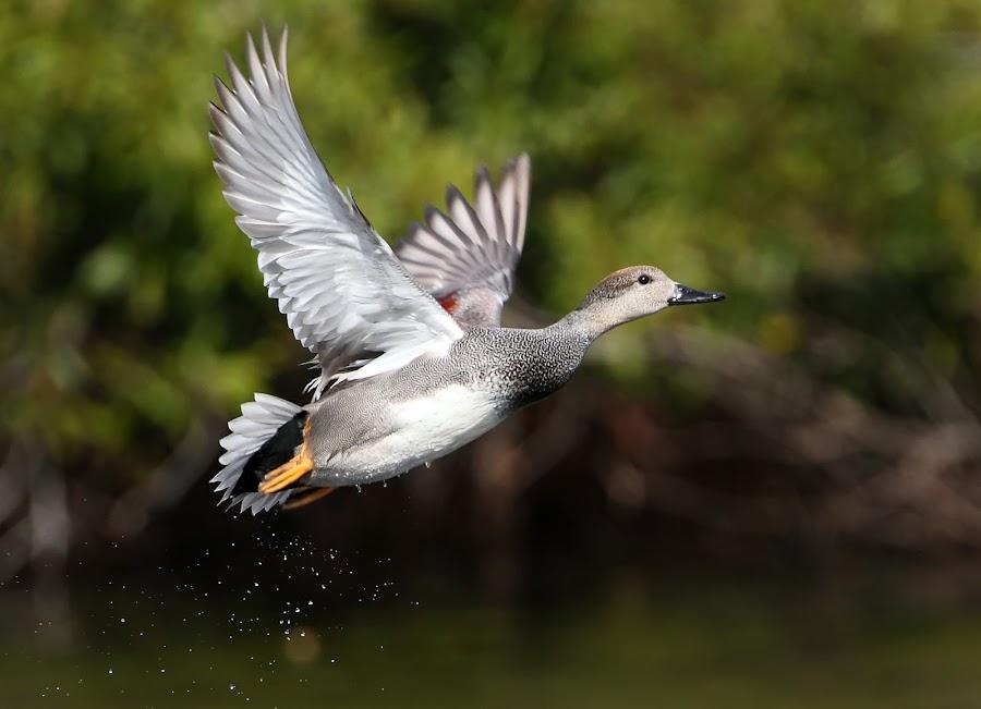 by Charles  English - Animals Birds