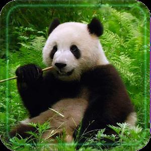 download panda bear live wallpaper for pc