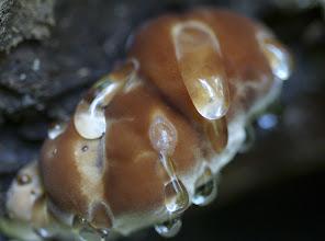 Photo: Fomitopsis pinicola