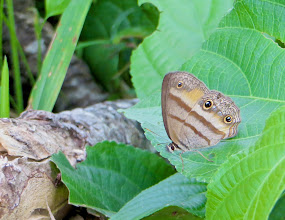 Photo: 'Owl' Butterfly