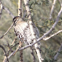 Ladder-backed Woodpecker - female