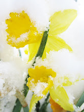 Photo: 2 yellow daffodils under snow at Cox Arboretum in Dayton, Ohio.