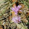 Brown knapweed (Κενταύρεια)