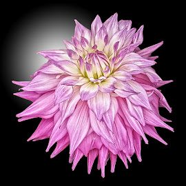 AYLI dahlia 78 18 by Michael Moore - Flowers Single Flower (  )